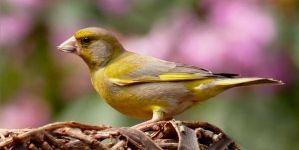 Cómo desparasitar canarios y otras aves