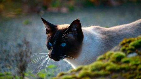 Gato siamés: curiosidades y características
