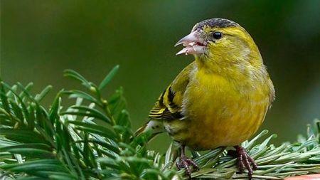 Los mejores pájaros cantores para alegrar tu casa