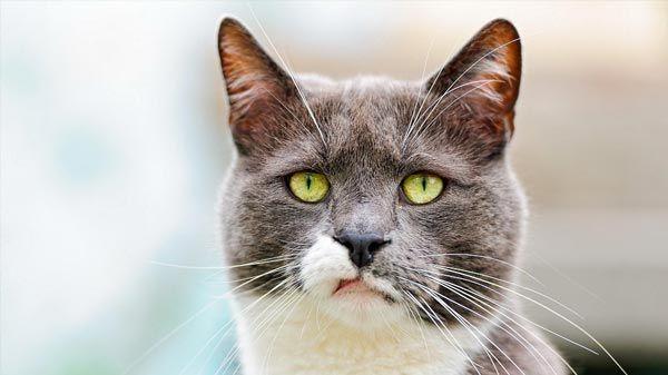 Cómo mantener libres de ácaros las orejas de tu gato
