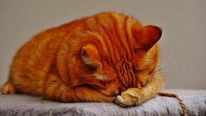 Dieta para gatos: ¿cuándo debo poner a mi gato a dieta?