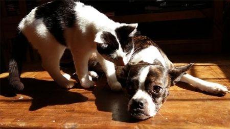 Otitis en perros y gatos