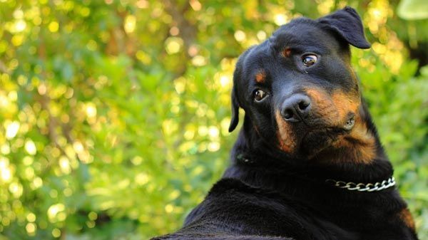 ¿Son peligrosos los rottweiler?