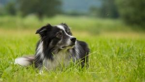 cuidados-border-collie