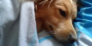 Resfriado en perros