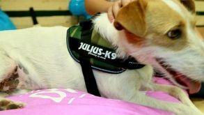 Análisis: Arnés para perros Julius K9 IDC