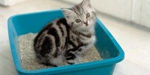 Como educar a tu gato para que utilice su arenero