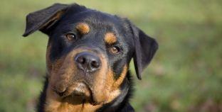 ¿Cómo cuidar a un rottweiler?