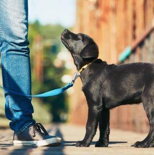 ¿Cómo educar a un labrador cachorro?