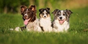 ¿Cuándo es adulto un border collie?