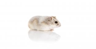 ¿Qué comen los hamster?