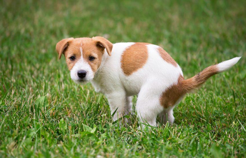 como-ensenar-perro-necesidades