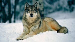 los-lobos-salvajes