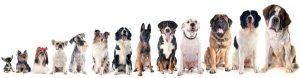 preguntas-frecuentas-razas-perro