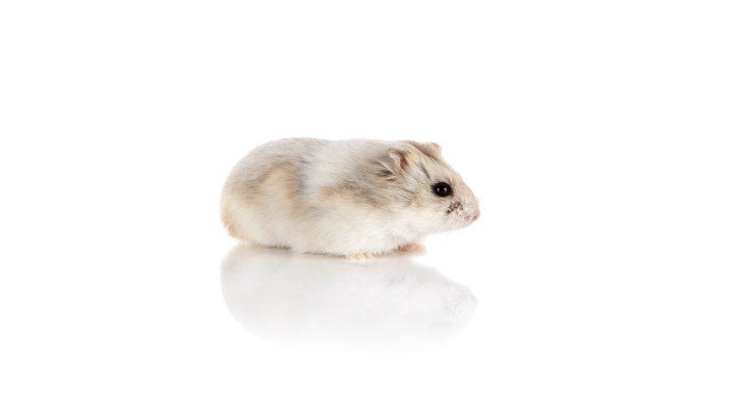 que-comen-los-hamster