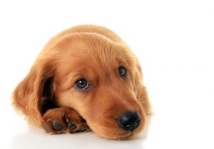 sarna-en-perros