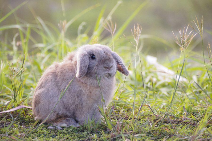 conejo-holland-lop