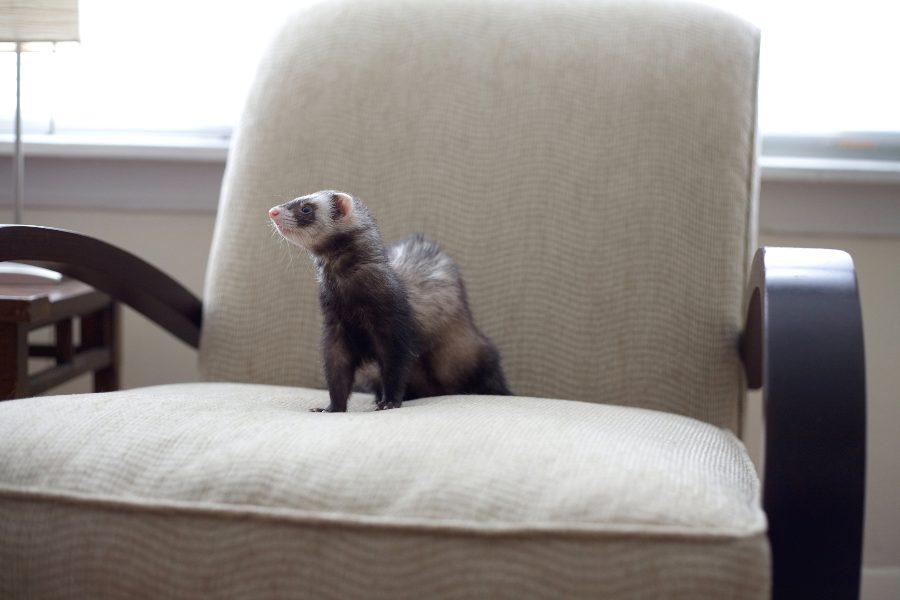 el-huron-como-mascota