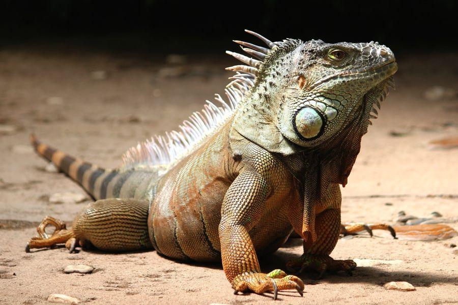 Las iguanas en la naturaleza