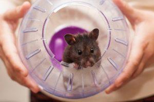 reproduccion-y-crias-de-hamster
