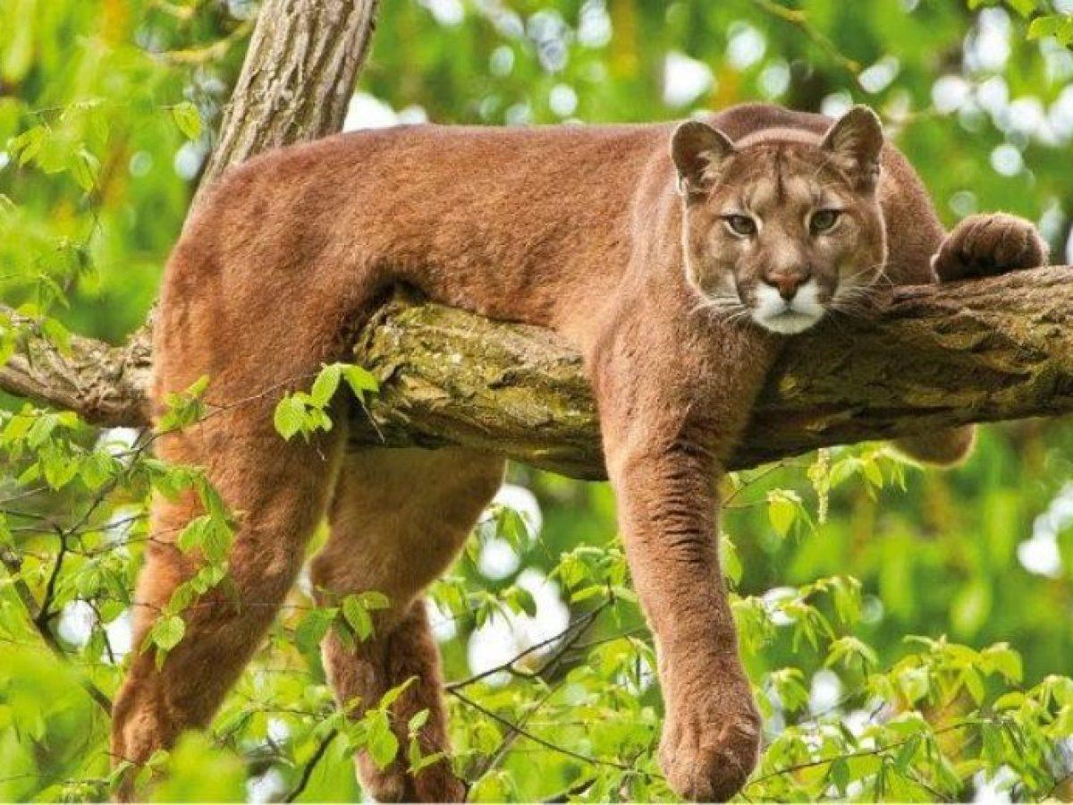 Consejo Medio Superposición  Felinos salvajes: Los pumas - Tiendanimal