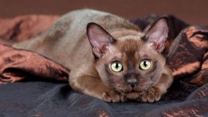 gato-burmes-raza