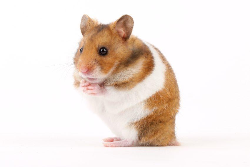 hamster-cola-humeda