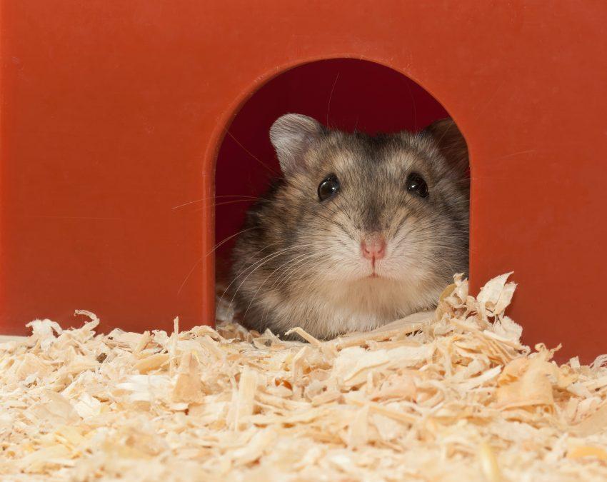 cuanto-vive-un-hamster