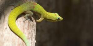 ¿Qué lagarto escoger como mascota?