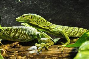 perdida-cola-lagartos