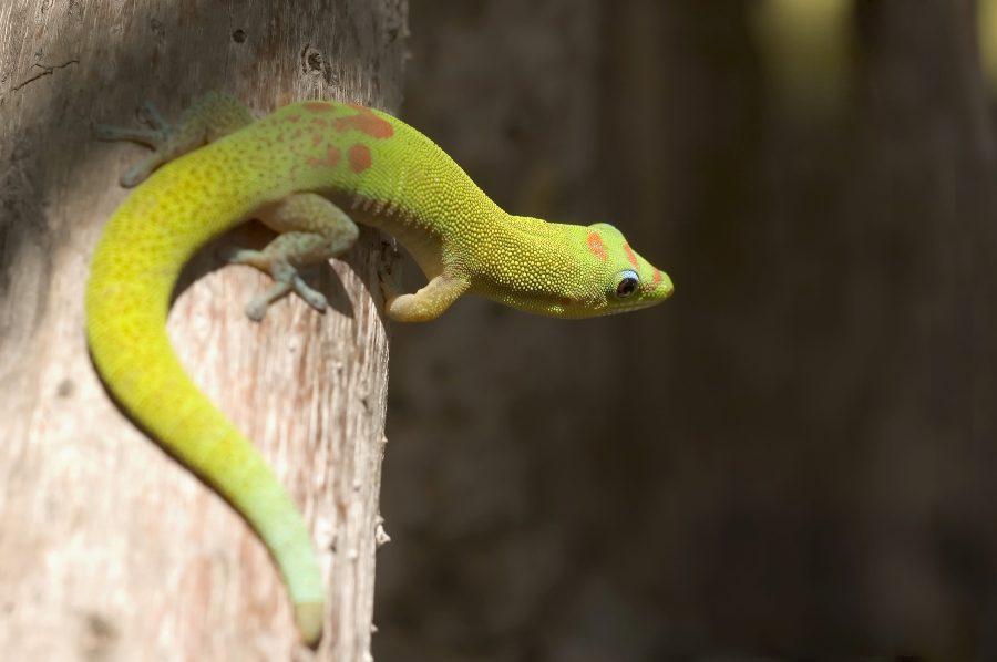 que-lagarto-escoger-como-mascota