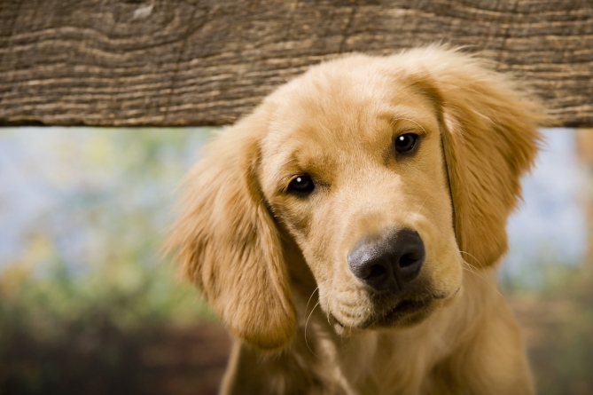 Otitis externa en perros
