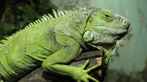 que-comen-las-iguanas