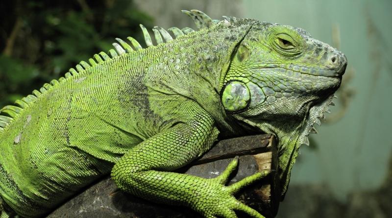 ¿Qué comen las iguanas?