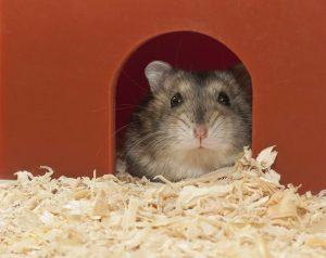 reproduccion-en-los-hamsters