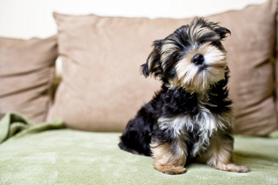 los-yorkshire-terrier