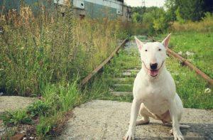 los-bull-terrier