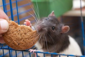 ratas-de-mascota-1