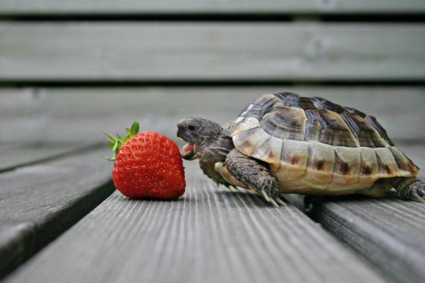que-comen-las-tortugas-de-tierra