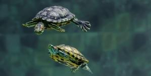 ¿Cómo cuidar una tortuga de agua?
