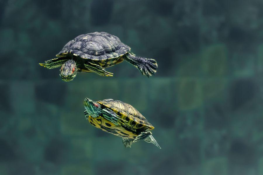 como-cuidar-una-tortuga-de-agua
