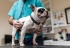Parainfluenza canina