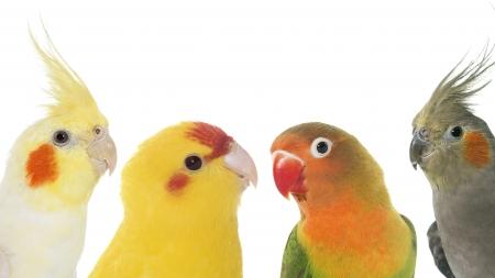 Las mejores aves como mascotas para niños