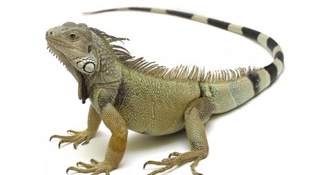 La iguana como mascota