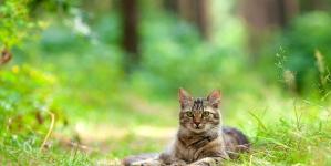 La garrapatas en gatos