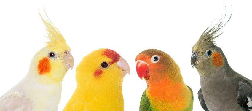 mejores-aves-mascota-ninos