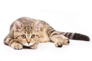 pif-peritonitis-infecciosa-felina