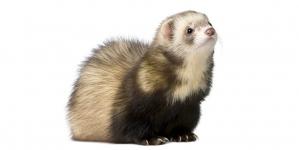 Tener un hurón de mascota: ¿macho o hembra?