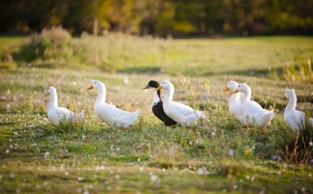 ¿Qué comen los patos?