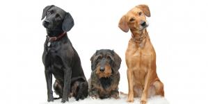 Razas de perros y sus características y patologías más frecuentes
